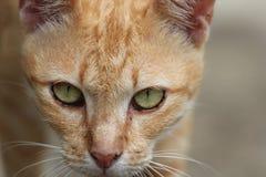 Orange katt i Thailand fotografering för bildbyråer