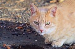 Orange katt med det gröna ögat Arkivfoto