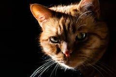 Orange katt som ser kameran; exponerat av den ljusa solen på en sida; mörk bakgrund royaltyfri bild