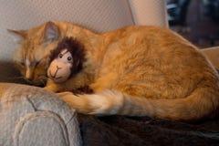 Orange kattkel med den förtjusande sockaapan arkivfoton