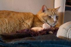 Orange kattkel med den förtjusande sockaapan royaltyfri fotografi