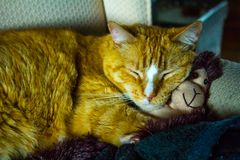 Orange kattkel med den förtjusande sockaapan fotografering för bildbyråer