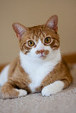 Orange kattstående Royaltyfri Foto