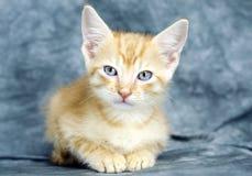 Orange kattunge med blåa ögon Arkivbilder