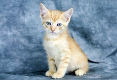 Orange kattunge med blåa ögon Royaltyfri Fotografi