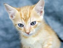 Orange kattunge med blåa ögon Arkivfoton