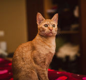 Orange kattungestående Arkivbild