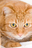 Orange Katze Stockbild