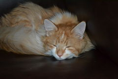 Orange Katze Stockfotografie