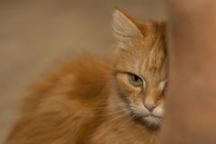 Orange Katze beim Verstecken Stockfotografie