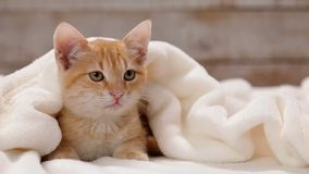 Orange Katze der getigerten Katze, die unter weißer Decke sitzt stock video footage