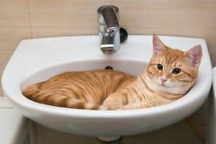 Orange Katze der getigerten Katze im Purpurtang Lizenzfreies Stockbild