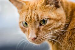 Orange Katzeportrait Lizenzfreie Stockfotografie