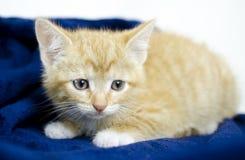 Orange kitten animal shelter adoption photo. Male orange 8 week old cat, domestic short hair, in studio on white background and blue blanket. Pet adoption photo royalty free stock photos