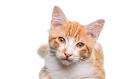 Orange Kitten. Beautiful orange and white kitten (4 months old), isolated on white. Studio shot royalty free stock photography