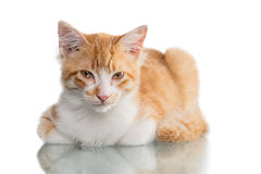 Orange Kitten. Beautiful orange and white kitten (4 months old), isolated on white. Studio shot royalty free stock photos
