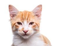 Orange Kitten. Beautiful orange and white kitten (4 months old), isolated on white. Studio shot stock photography