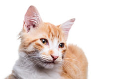 Orange Kitten. Beautiful orange and white kitten (4 months old), isolated on white. Studio shot stock photo