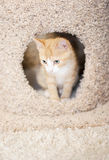 Orange kitten in cat tree Royalty Free Stock Images