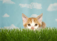 Orange kitten crouched in grass ready to pounce at viewer. Orange and white tabby kitten crouched down in tall green grass ready to pounce, looking directly at Royalty Free Stock Photos