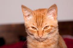 Orange Kitten Stock Images