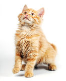 Orange kitten Stock Photos