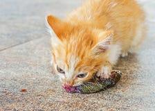 Orange kitten eat raw fish Stock Image