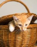 Orange kitten escaping form picnic basket Royalty Free Stock Image