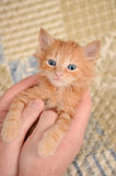 Orange Kitten in Hands Stock Photos