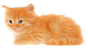 Orange kitten lays Royalty Free Stock Images