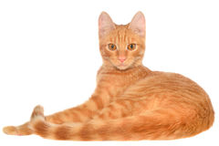 Orange kitten lays on a side view Stock Photography