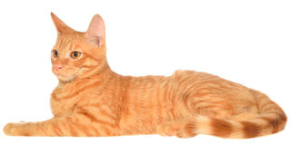 Orange kitten lays on a side view Royalty Free Stock Images