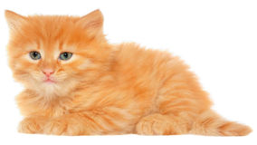 Orange kitten lays on a side view isolated Stock Image