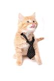Orange kitten licking Royalty Free Stock Photo