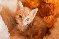Orange kitten in pet bed Royalty Free Stock Images