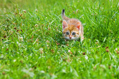 Orange kitten plays in a green grass Stock Images