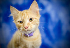 Orange Kitten. Purple flea collar Studio Adoption Portrait Animal Shelter Humane Society royalty free stock photos