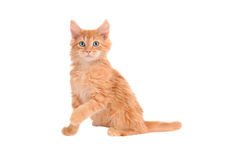 Orange kitten with shocked expression Royalty Free Stock Image