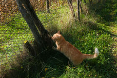 Orange Kitten sit on the fence. Orange cat sharpens claws its Royalty Free Stock Photography