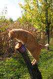 Orange Kitten sit on the fence. Orange cat sharpens claws its Stock Images