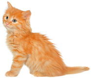 Orange kitten sitting isolated Stock Photo