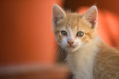 Orange kitty cat Royalty Free Stock Images