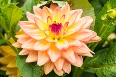 """Orange Kleene"" Dahlia in Full Bloom. An unbelievably gorgeous close up view of this wonderful Dahlia bloom Royalty Free Stock Image"