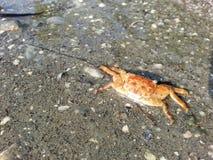Orange kleine Krabbe Lizenzfreies Stockbild