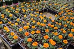Orange kleine Ringelblumen des Babys Lizenzfreie Stockfotos
