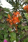 Orange klibbig exotisk blomma från Kuba Arkivbilder