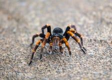 Orange Kneed Tarantula royalty free stock images