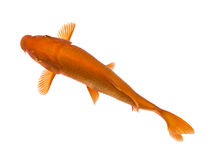 Orange Koi - Cyprinus carpio Stock Photo
