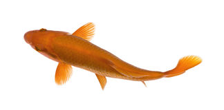 Orange koi fish, Cyprinus Carpio, studio shot Royalty Free Stock Images