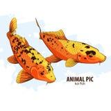Orange Koi fishes Stock Images
